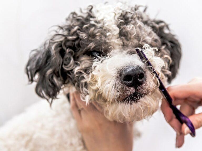 Pudel - Sigrid's Hundesalon